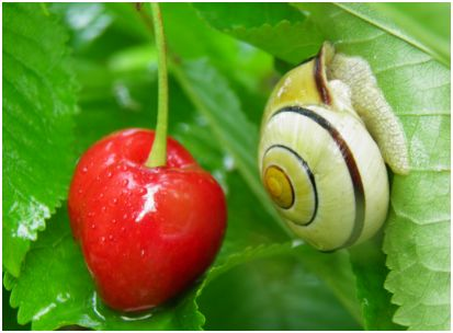 escargot est il un fruit